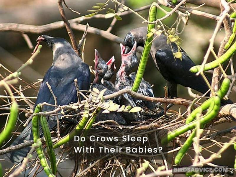 Do Crows Sleep With Their Babies?