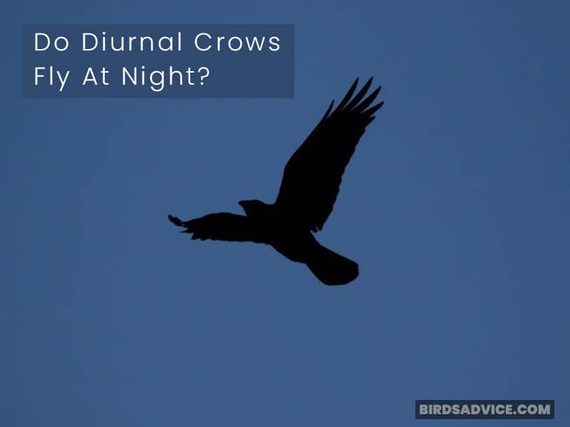Do Diurnal Crows Fly At Night?