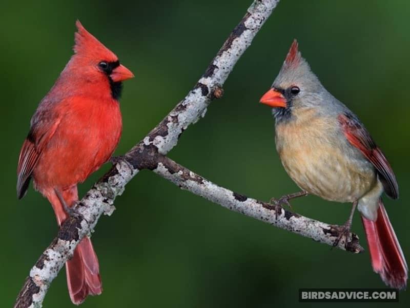 Do Male And Female Cardinals Sleep Together?
