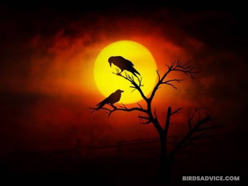 Do Male And Female Crows Sleep Together?