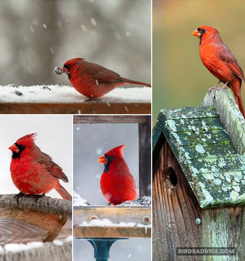 How Can You Help Winter Cardinals?
