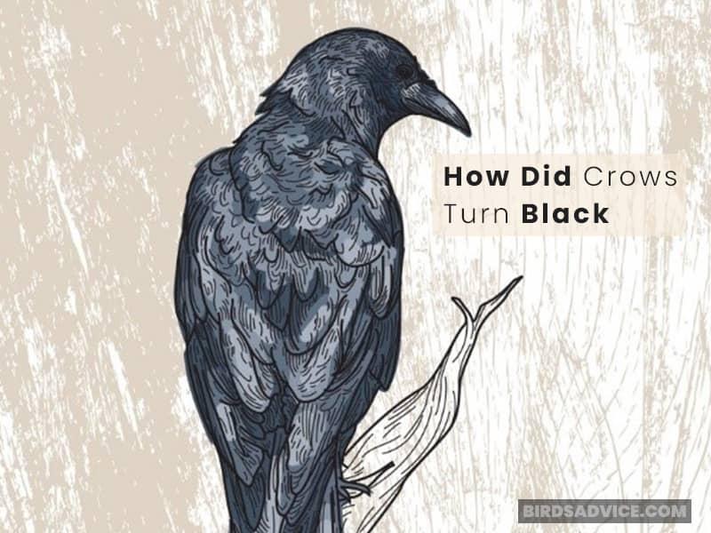 How Did Crows Turn Black?