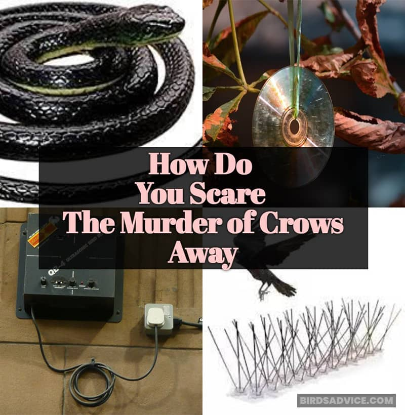 How Do You Scare The Murder of Crows Away?