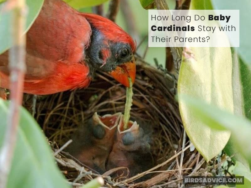 How Long Do Baby Cardinals Stay with Their Parents?