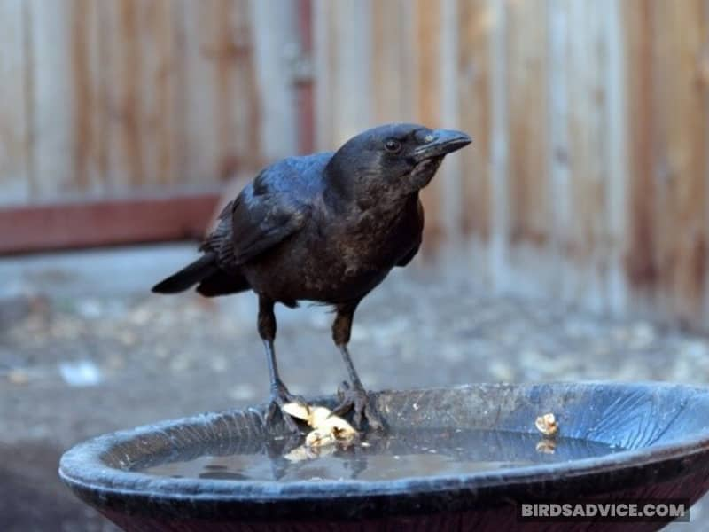 Install a Birdbath for Crows