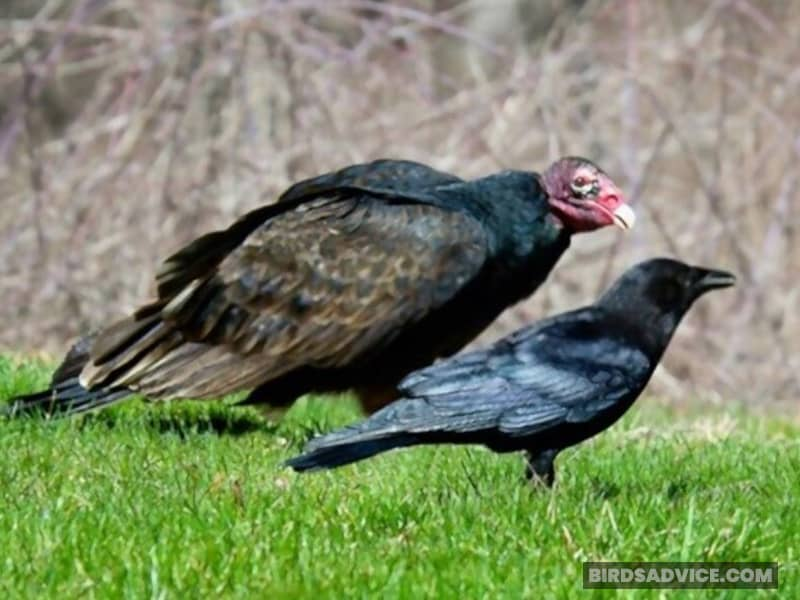 Mr. Crow and Mr. Turkey