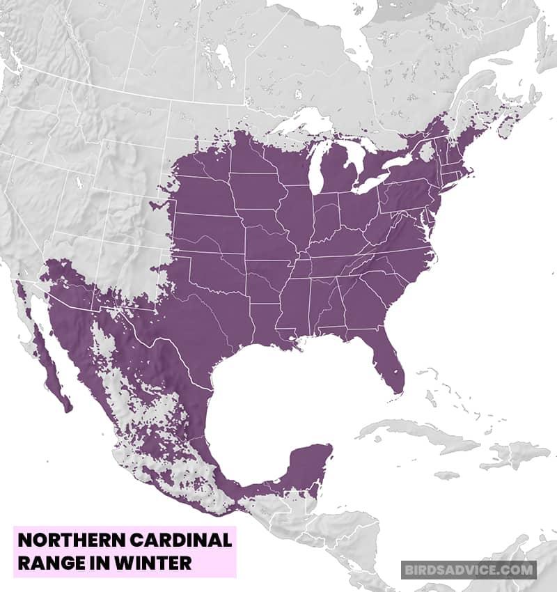 Northern Cardinal Range In Winter