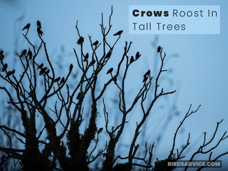 Roosting In Tall Trees