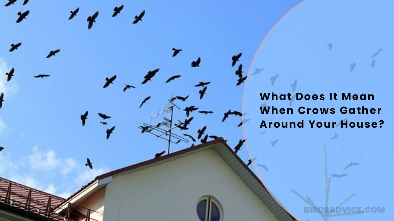 What Does It Mean When Crows Gather Around Your House?