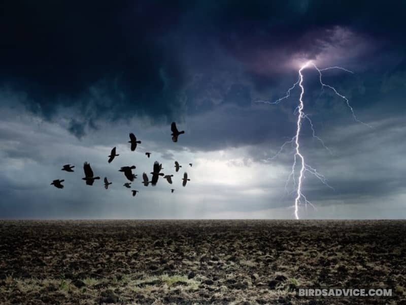 Where Do Crows Stay At Night When It Rains?