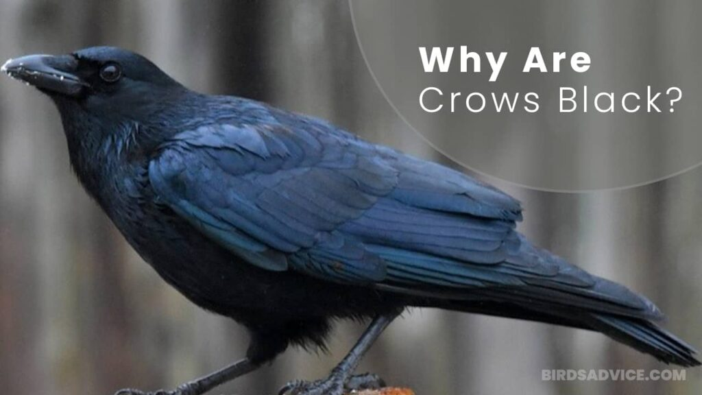 Why Are Crows Black