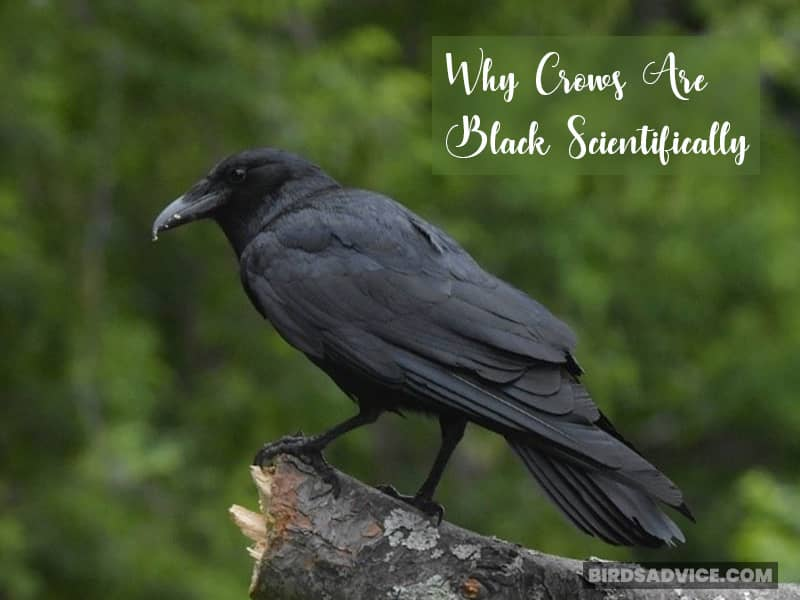 Why Crows Are Black Scientifically