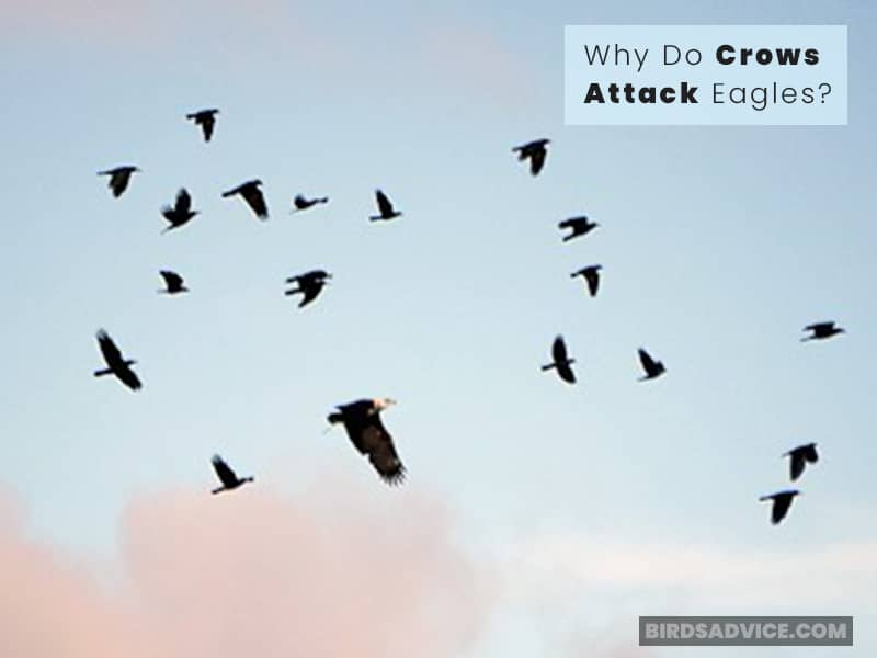 Why Do Crows Attack Eagles?