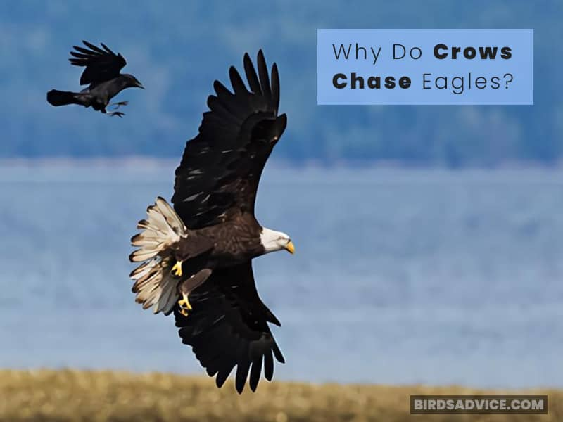 Why Do Crows Chase Eagles?