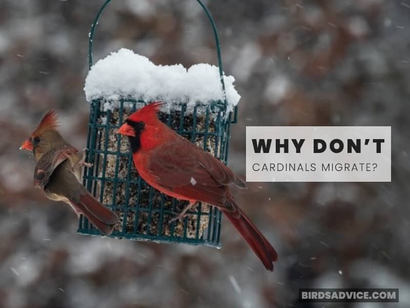 Why Don't Cardinals Migrate?