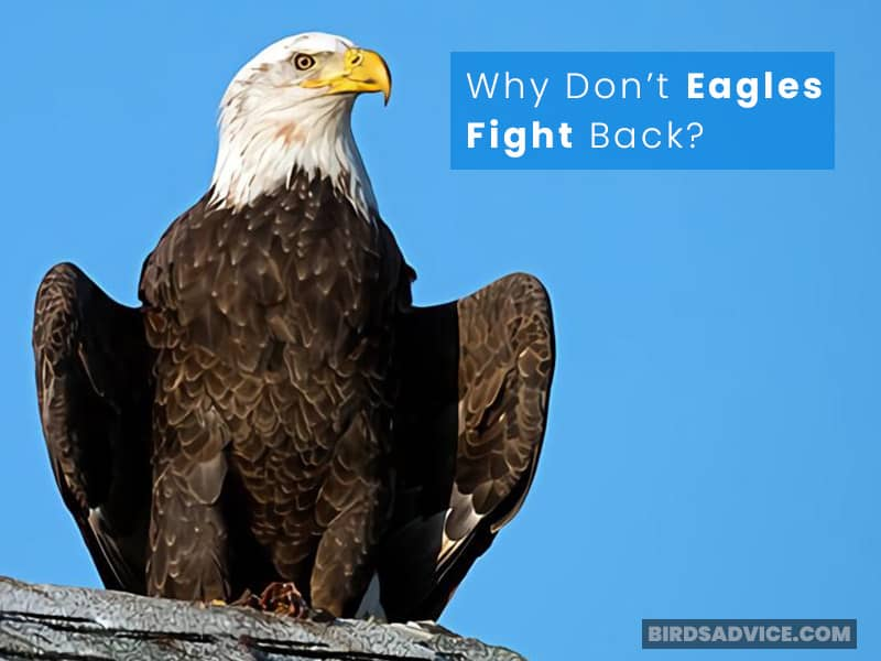Why Don't Eagles Fight Back?