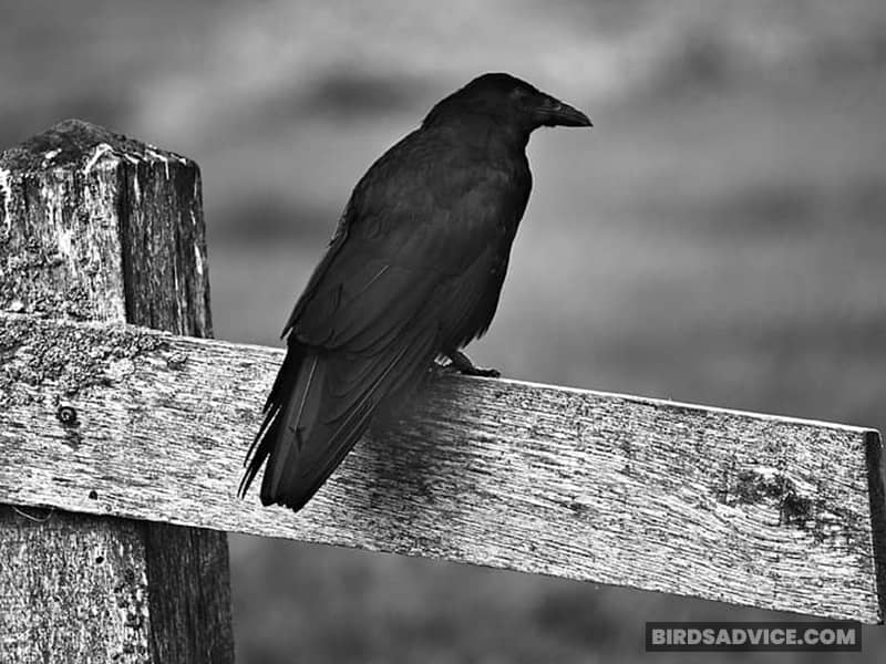 Why Have You Never Seen A Talking Crow?