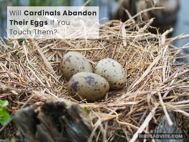 Will Cardinals Abandon Their Eggs If You Touch Them?