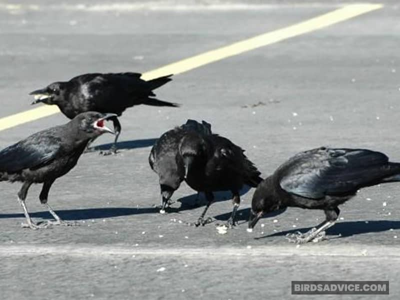 Baby Crow With Adults