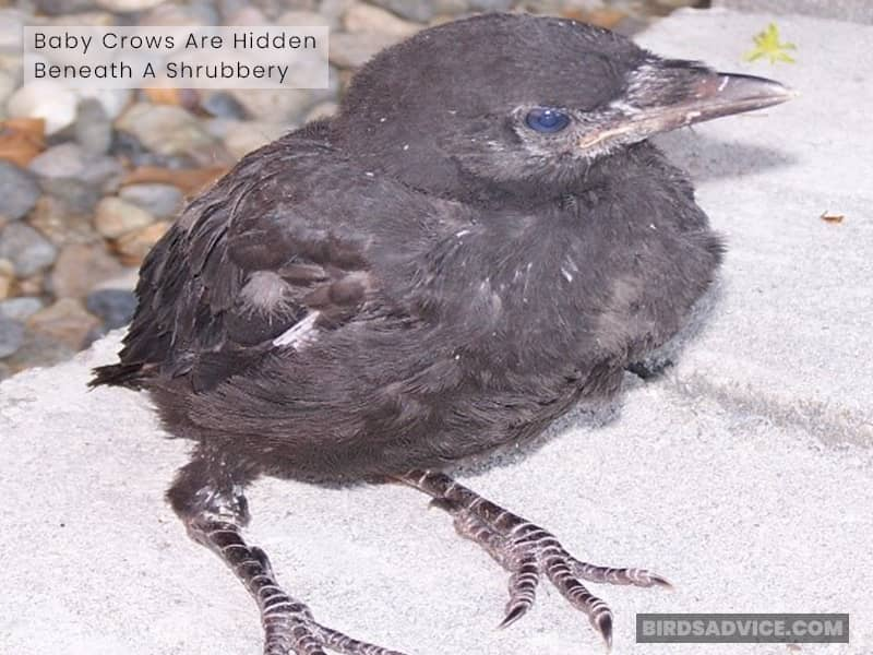 Baby Crows Are Hidden Beneath a Shrubbery