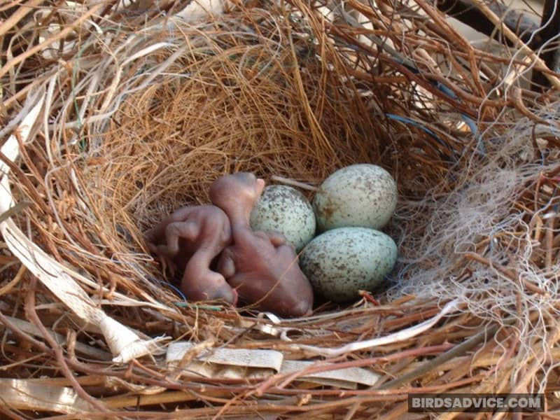 Baby Crows May Haven't Left the Nests Yet