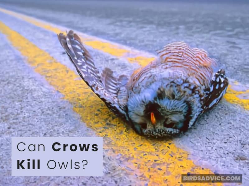 Can Crows Kill Owls?