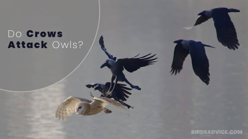 Do Crows Attack Owls