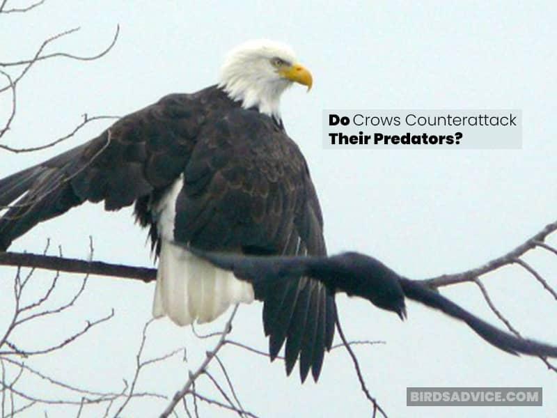 Do Crows Counterattack Their Predators?