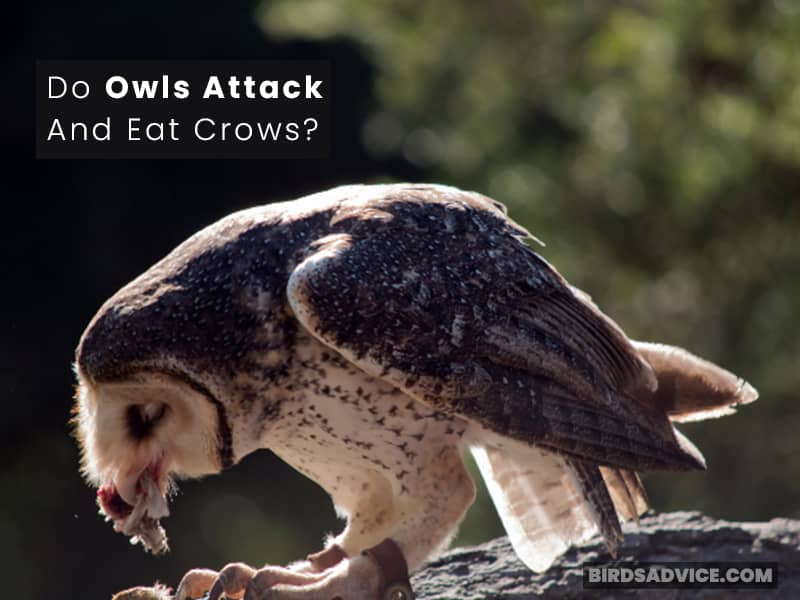 Do Owls Attack And Eat Crows?