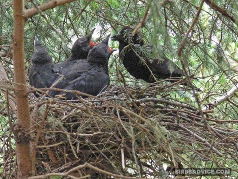 Fully-Fledged Baby Crows Are the Same Size as Average Adults