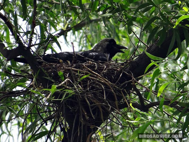 How Long Do Baby Crows Stay with Parents