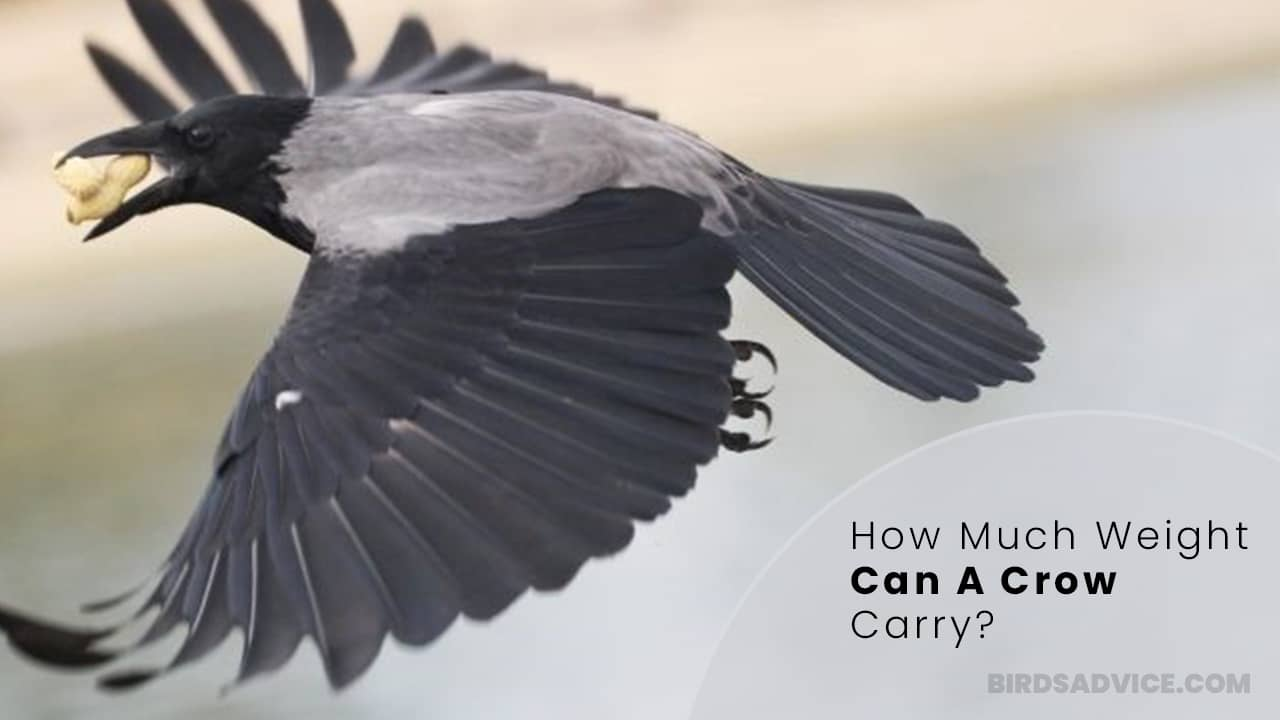 How Much Weight Can A Crow Carry? Birds Advice