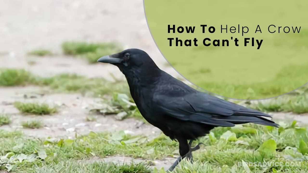 How To Help A Crow That Can't Fly [With A Broken Wing]