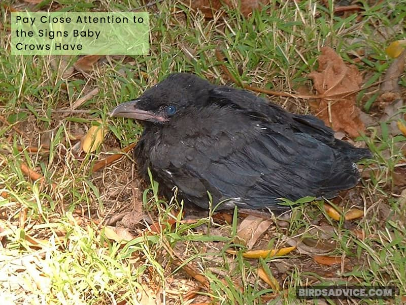 Pay Close Attention to the Signs Baby Crows Have