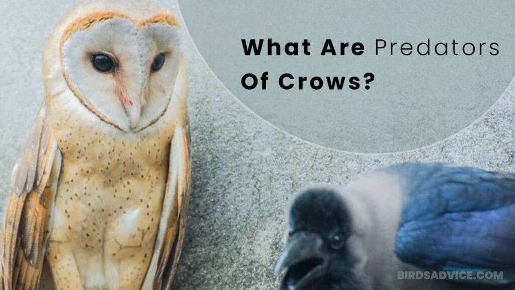 What Are Predators Of Crows