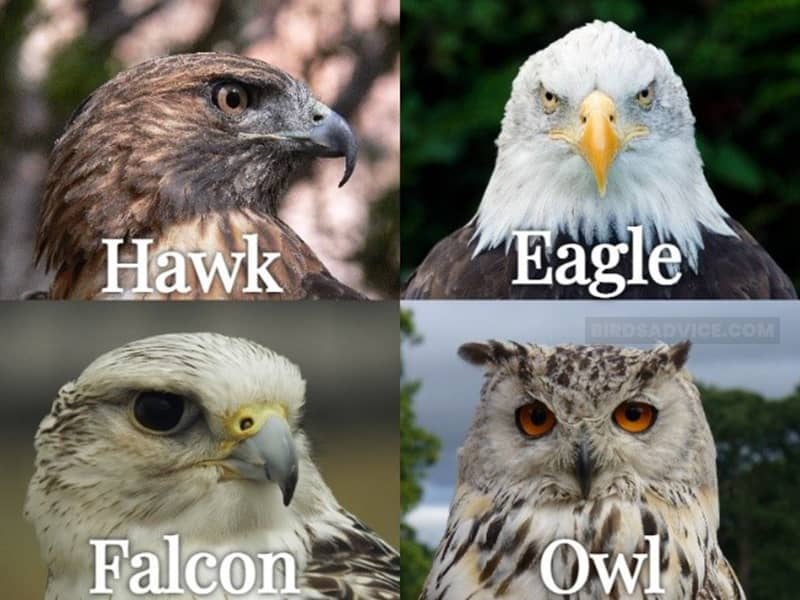 What Birds Are Predators of Crows?