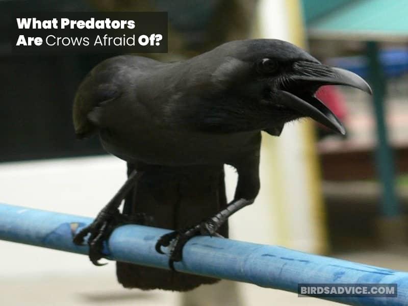 What Predators Are Crows Afraid Of?