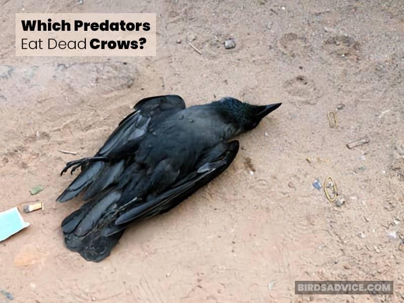 Which Predators Eat Dead Crows?