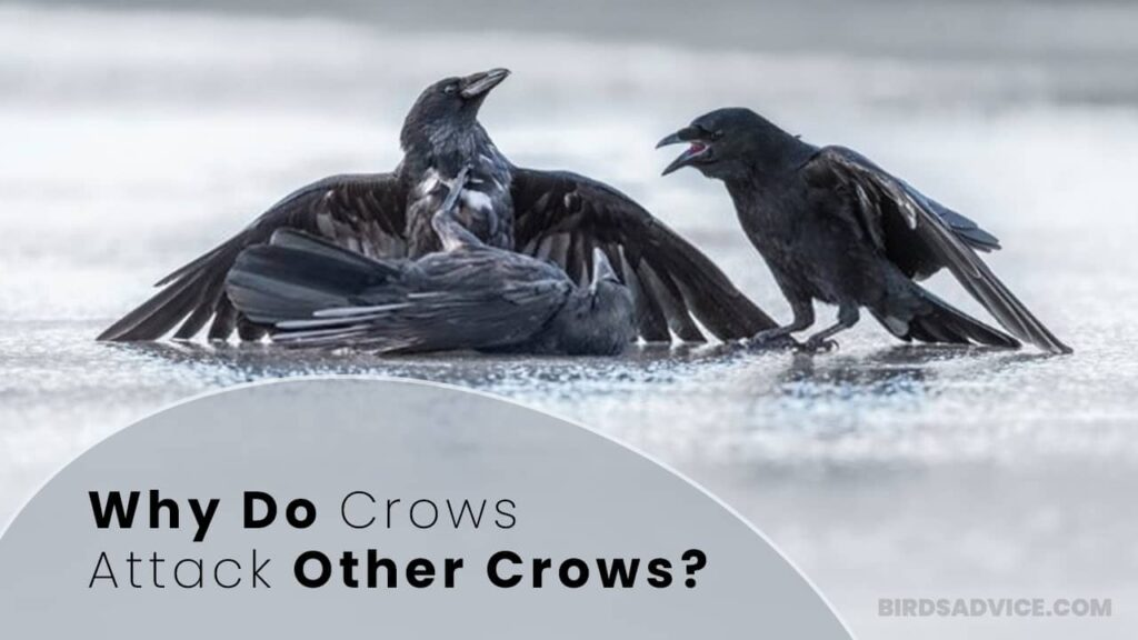 Why Do Crows Attack Other Crows