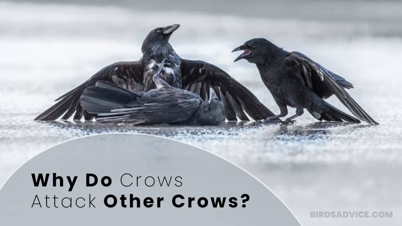 Why Do Crows Attack Other Crows? Birds Advice