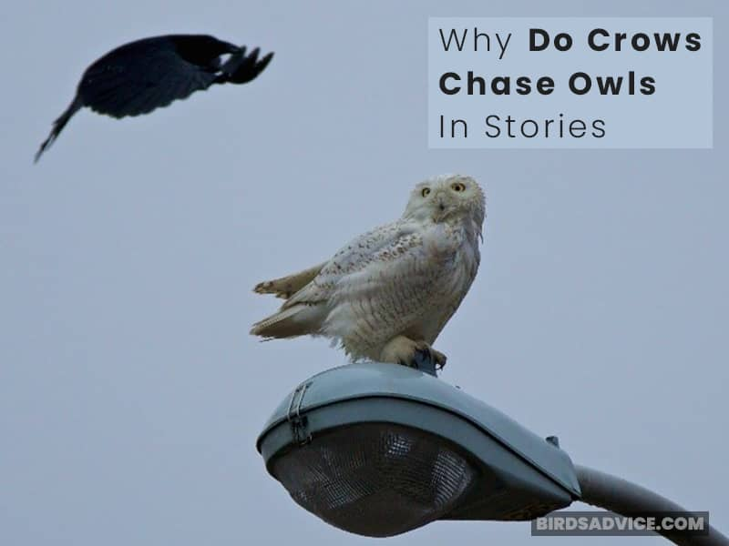 Why Do Crows Chase Owls In Stories?