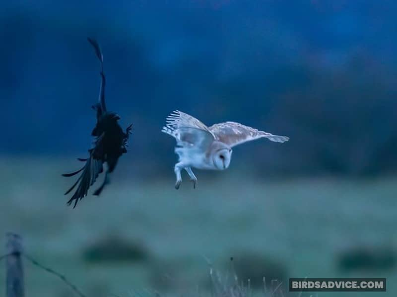 Why Do Crows Chase Owls