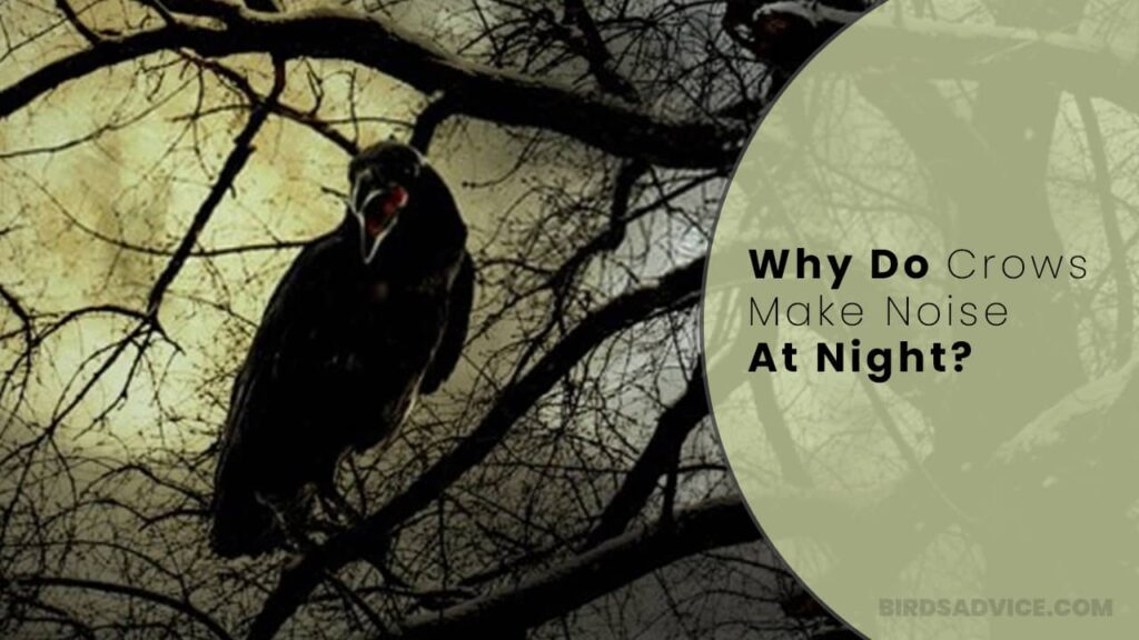 Why Do Crows Make Noise At Night