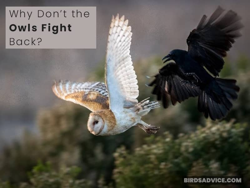 Why Don't the Owls Fight Back?