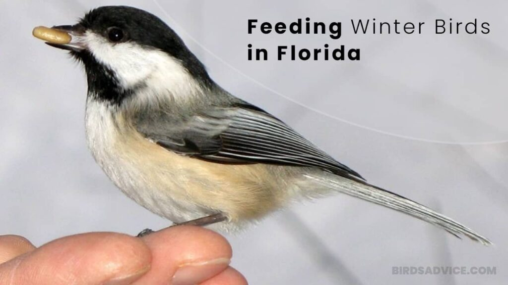 Feeding Winter Birds in Florida