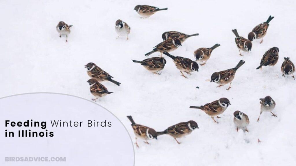 Feeding Winter Birds in Illinois