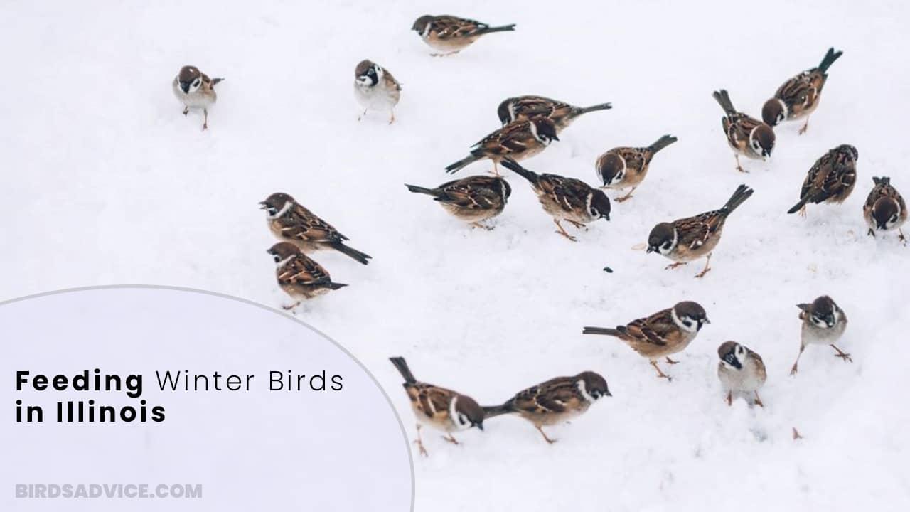 Feeding Winter Birds In Illinois | Birds Advice