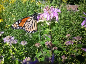 Monarch Butterfly visiting our patio garden.