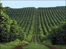 Conventional sun coffee. The lush forest ecosystem is replaced by monoculture.