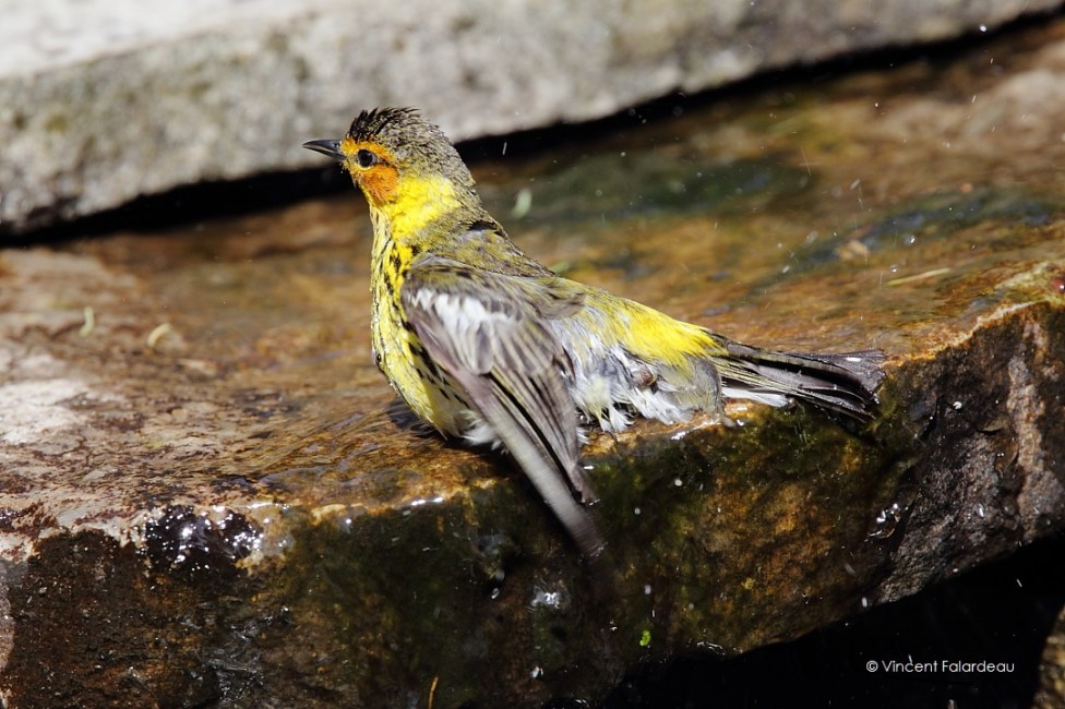 Cape May Warbler_2